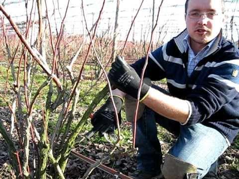 Mirtillo rosso coltivazione e propriet consigli di g - Giardinieri in affitto consigli ...