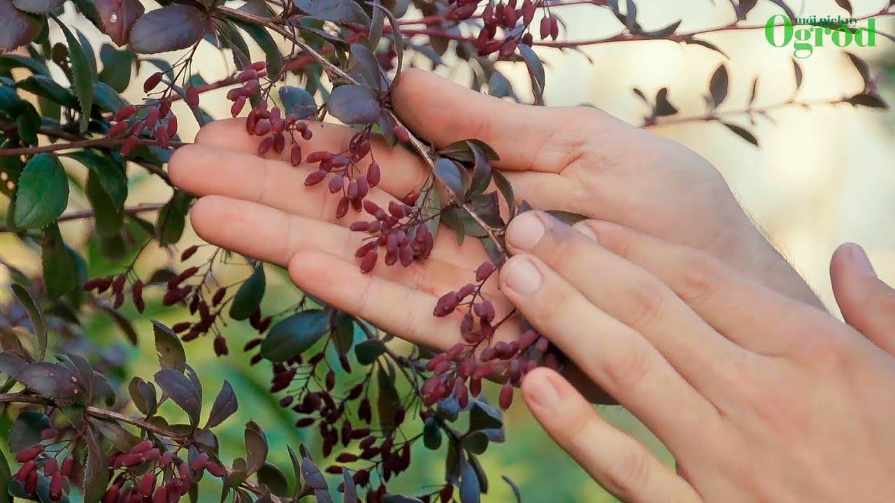 Jak uprawiać rośliny - 5 łatwych w uprawie krzewów