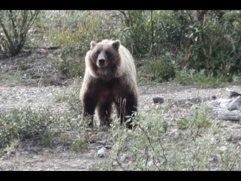 Hiker Taking Photos is Killed by Grizzly Bear.
