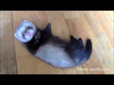 Really Cute Baby Ferrets