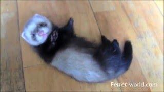 CUTE BABY FERRETS  :)