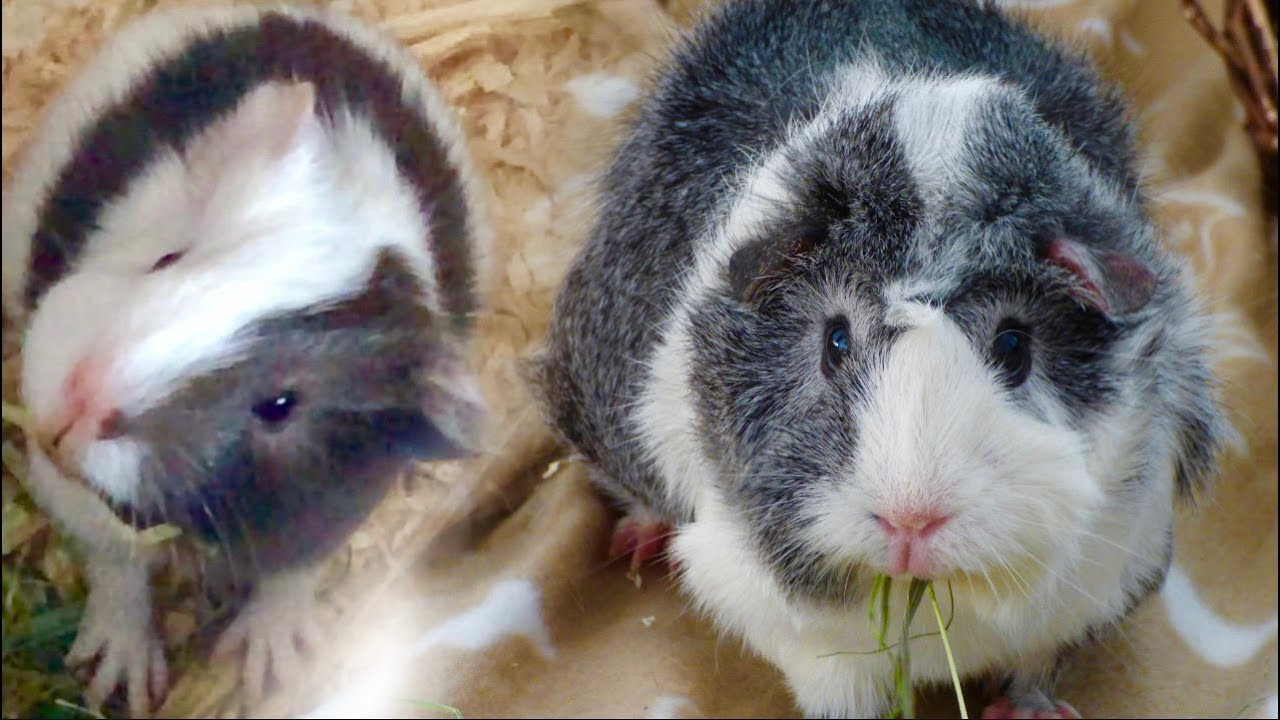 How To Tell Between Female And Male Guinea Pigs-6815