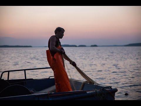 Muikun nuottausta Puruvedellä - Fishing at lake Puruvesi, Saimaa, Finland