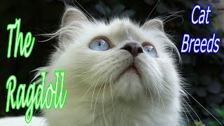 CAT BREEDS (The Ragdoll) Identify Top 10 Longest Living Cats & Kittens info