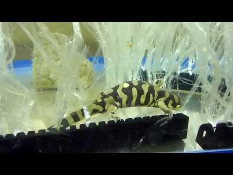 Breeding My Barred Tiger Salamander (1)