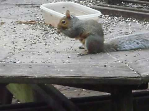 Grey Squirrel (Sciurus carolinensis ) having lunch