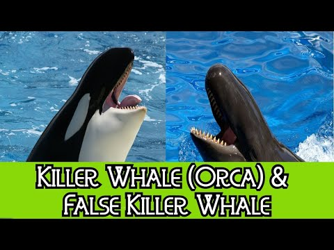 Killer Whale & False Killer Whale - The Differences