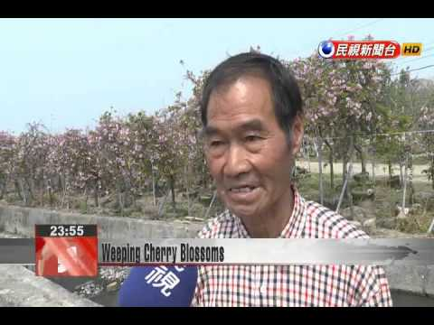 Changhua County's Chou Fu weeping cherry trees in full bloom