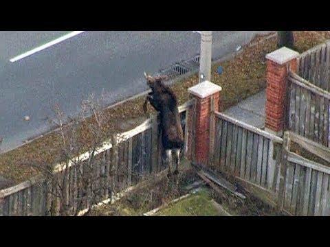 Caught on cam: Moose runs around Markham, Ontario