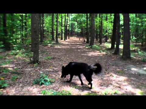 Awesome solid black German Shepherd Dog