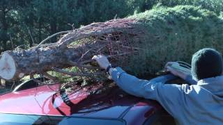 Tying Tree to Car at Middleburg Christmas Tree Farm in Virginia