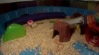 Leaping Ruckus Rattie / Verry Cute!