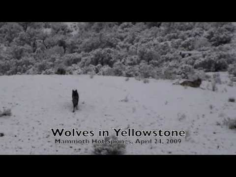 Wolves In Yellowstone: Mammoth