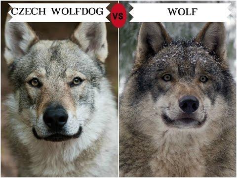 #تعرف على 11 فصيلة من الكلاب تشبه الذئب .. dog training