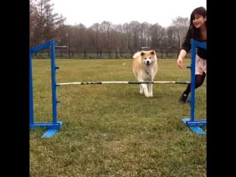 Jump!! #akita #inu #yamato #cute #love #dog #hug #happy #jump #lol #japanese #japan #lough #AKT #ani