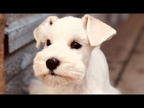 BEAUTIFUL White Miniature Schnauzer Puppy - IVORY!!