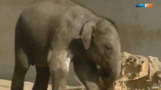 Elefant Voi Nam und sein größter Fan | Elefant, Tiger & Co. | MDR