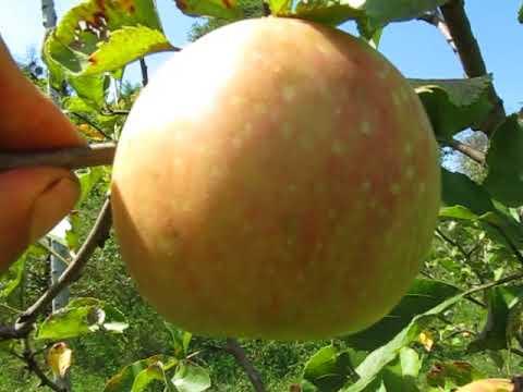 декоста сорт яблок