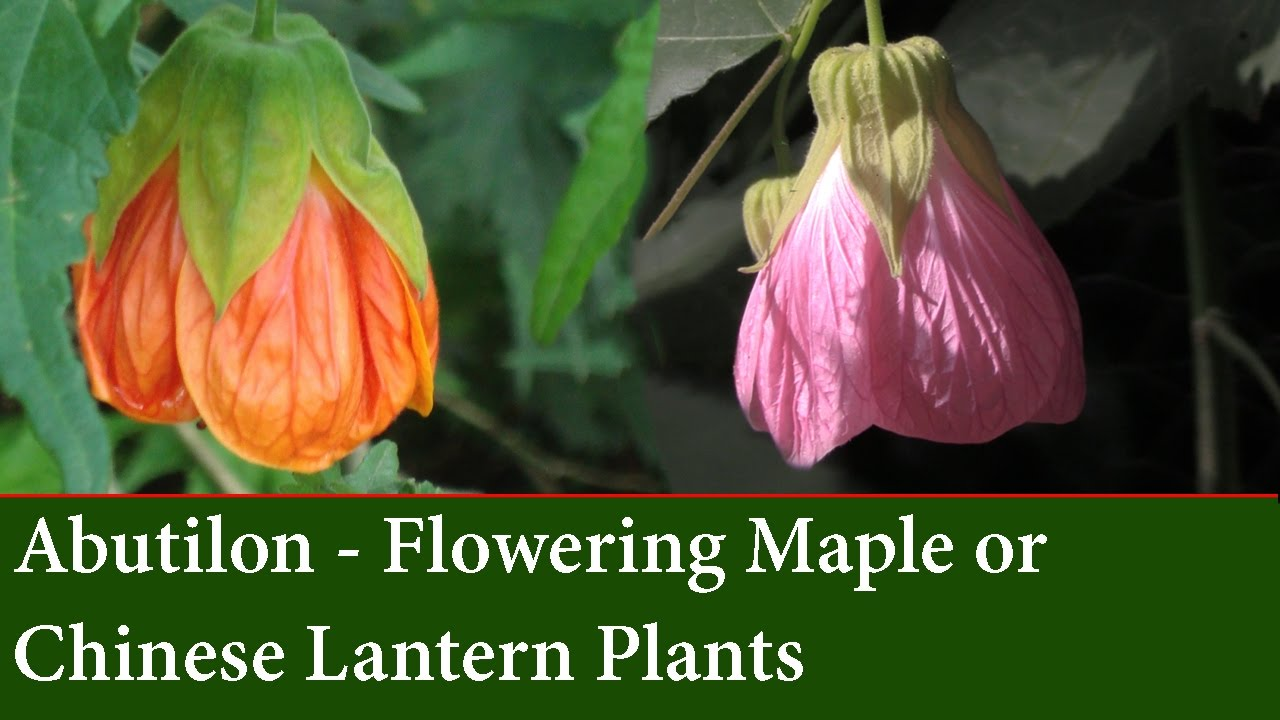 How To Grow Abutilons The Flowering Maple Or Chinese Lantern Plant