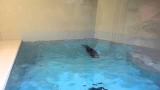 Sea Otter at Minnesota Zoo