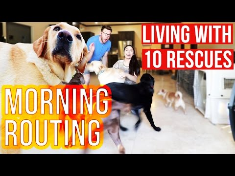 LABor of Love: MORNING ROUTINE | Living with 10 Labradors | Ep 2