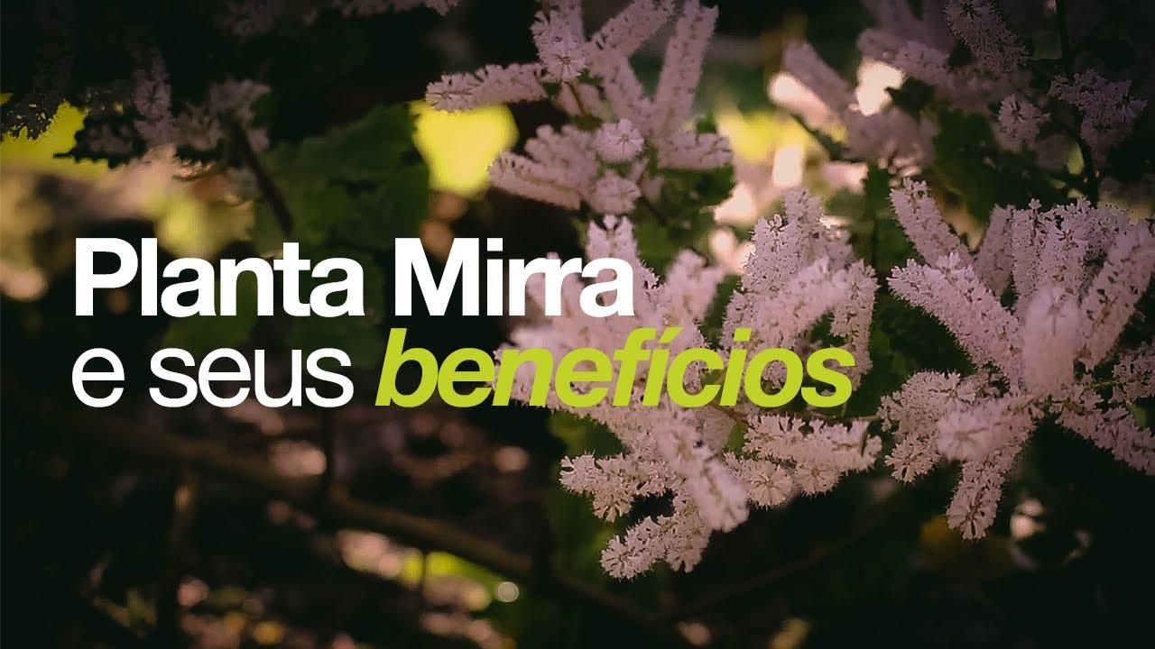 Download Conheça a linda planta MIRRA e seus benefícios