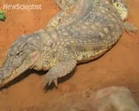 Unborn crocs chatter to synchronise hatching