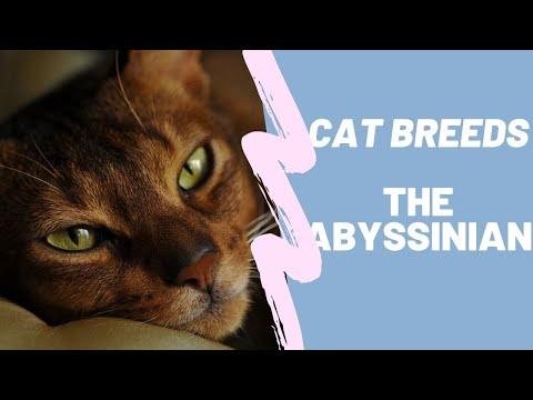 ABYSSINIAN - CAT BREEDS