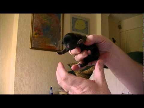 Chihuahua Yorkie Puppies