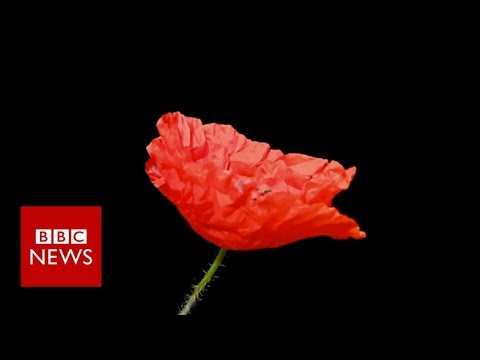 Remembrance Day: Why people wear poppies and others don't - BBC News