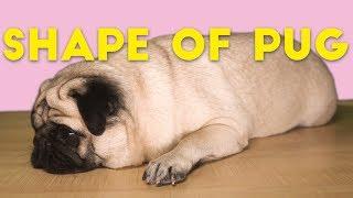 Pug Sheeran  Shape of Pug (Shape of You spoof)