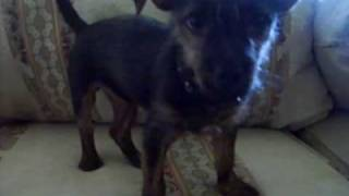 Cairn Terrier And Chihuahua (cairn-chi Mix) My Puppy Rocky