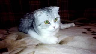 Шотландская Вислоухая Короткошерстная Кошка.Младшая Родная Сестра Жеша!