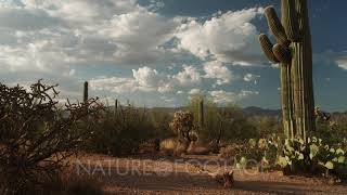 Rich variety of Sonoran Desert cactus, cacti and succulents filmed in the Saguaro National Park E...