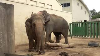 Секс слонов спаривание слонов
