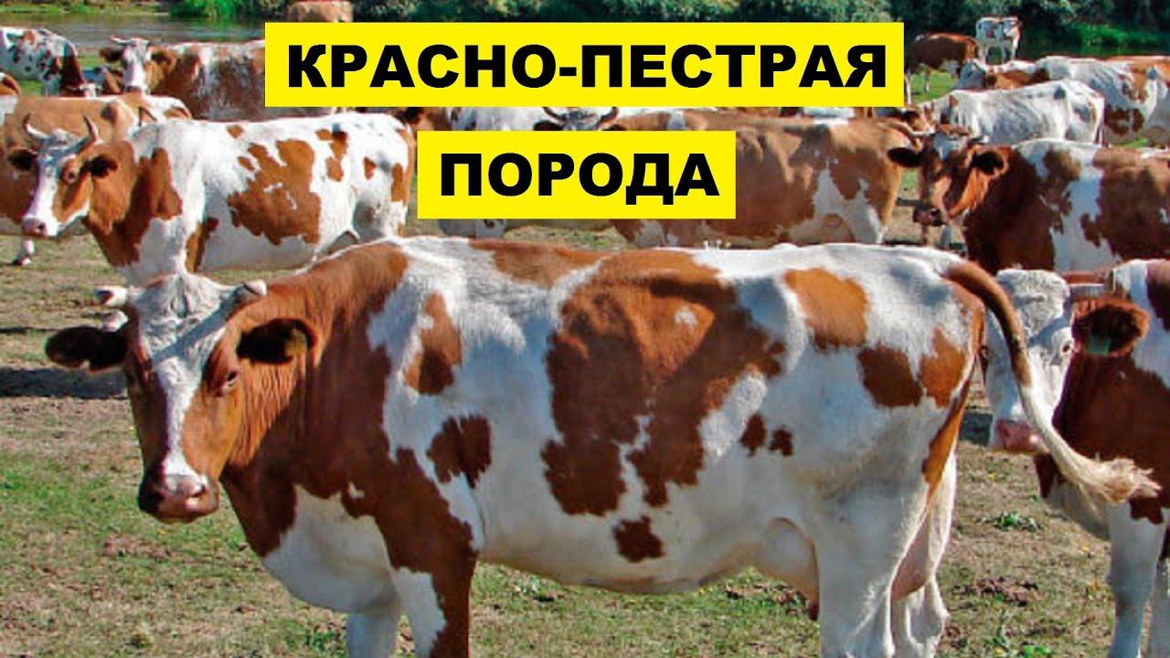 Разведениие красно пестрой породы коров как бизнес идея | Красно пестрая корова