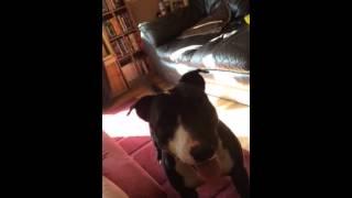 Bull Terrier Cross