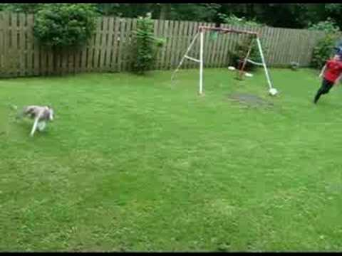 Bramble The Whirlwind Whippet Running And Jumping