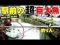 駅前の【超】巨大魚を釣った動画!【English Subtitles】【沖縄】【リバーGT】【Giant Trevelly】