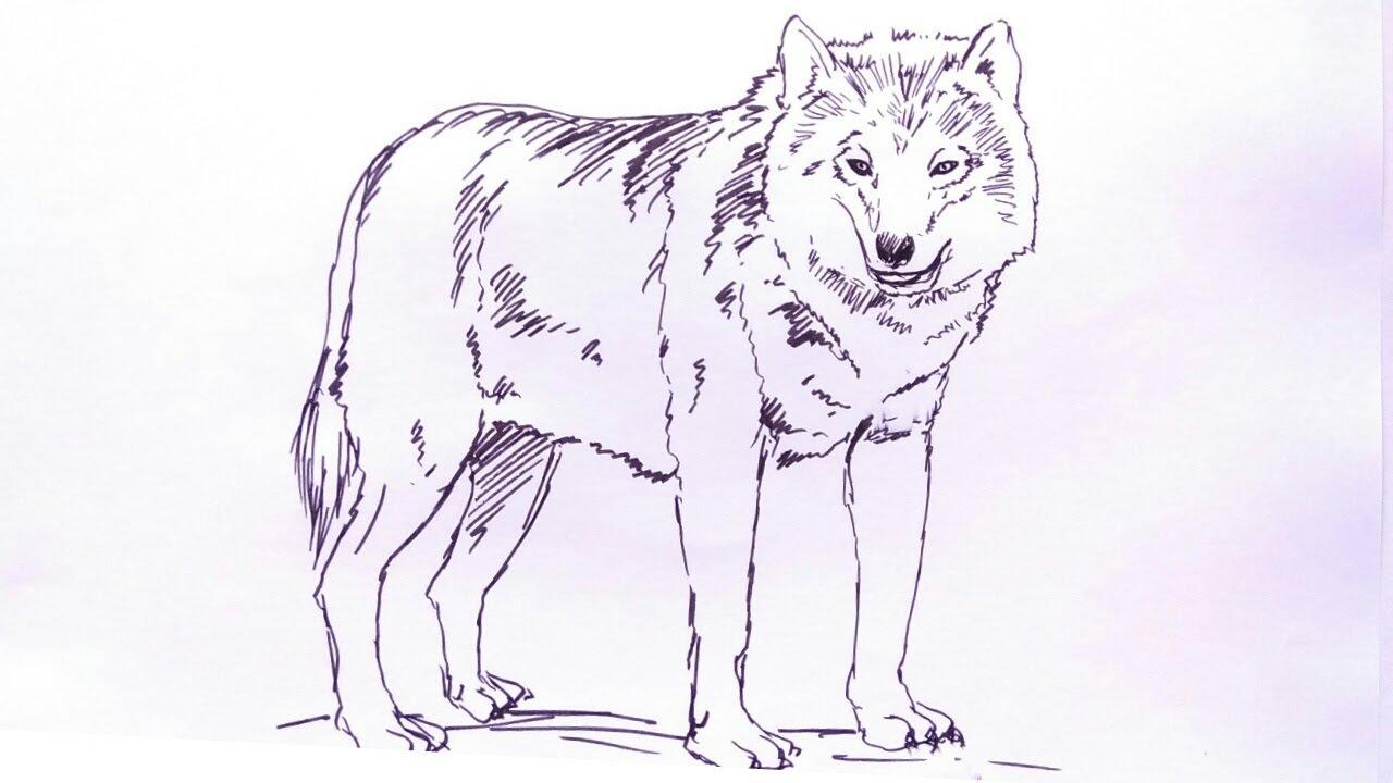 Sketsa Gambar Serigala