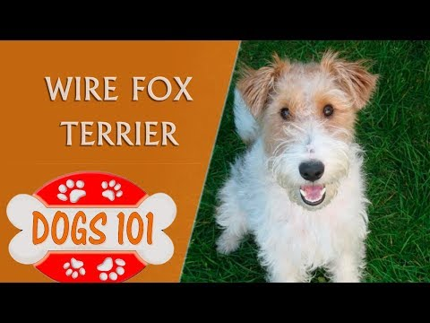 dogs-101---wire-fox-terrier---top-dog-facts-about-the-wire-fox-terrier