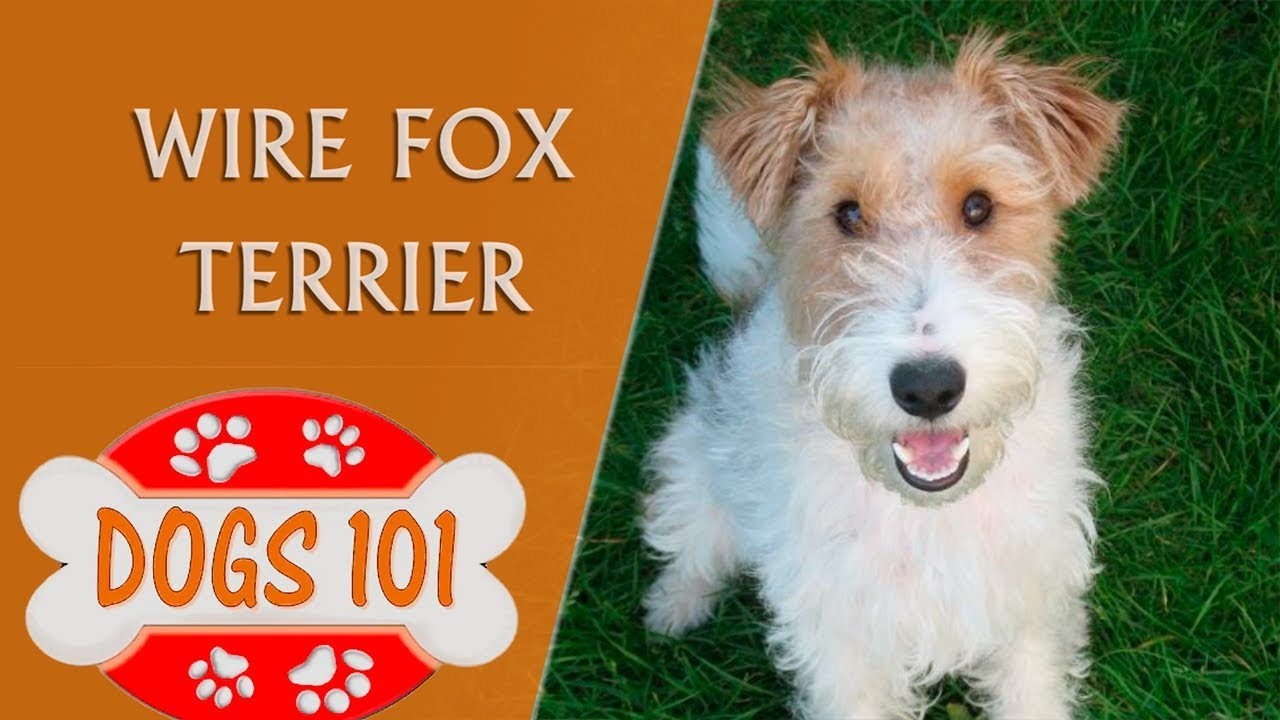 Dogs 101 Wire Fox Terrier Top Dog Facts About The
