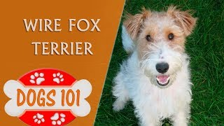 Dogs 101 - Wire Fox Terrier - Top Dog Facts About the Wire Fox Terrier