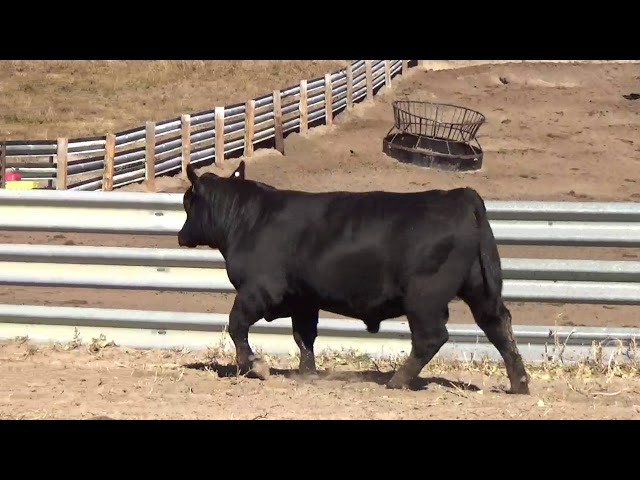 Connealy Angus Lot 9