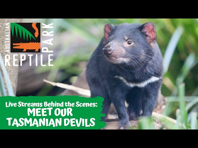 MEET OUR CHEEKY TASMANIAN DEVILS (LIVE FOOTAGE) | AUSTRALIAN REPTILE PARK