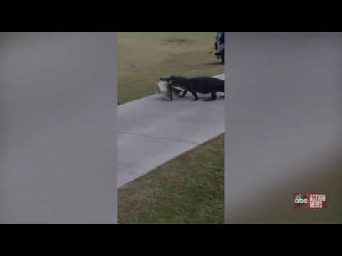 VIDEO: Gator Carries Huge Fish In Its Mouth Across Trinity Golf Course