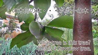 この~木・・・なんの木・・・ポポーの木 What tree is this tree?・・...