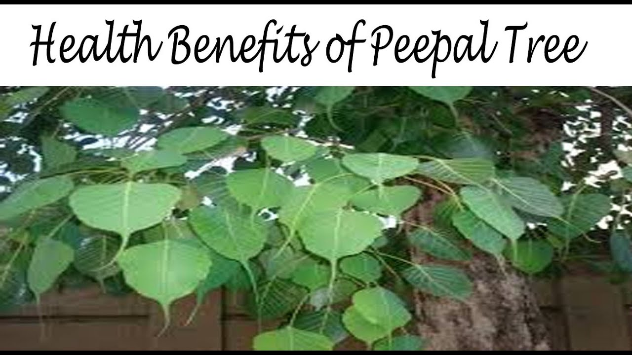 peepal tree essay in english