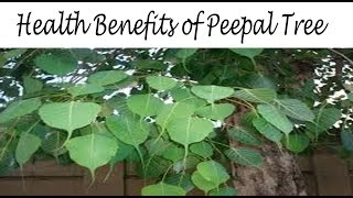 पीपल के फ़ायदे | Health Benefits of Peepal (Pipal) Tree in Hindi | Peepal ke fayde