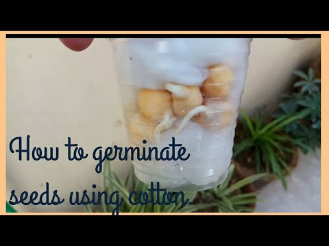 How To Germinate Seed Using Cotton Balls | Kids Science Activity